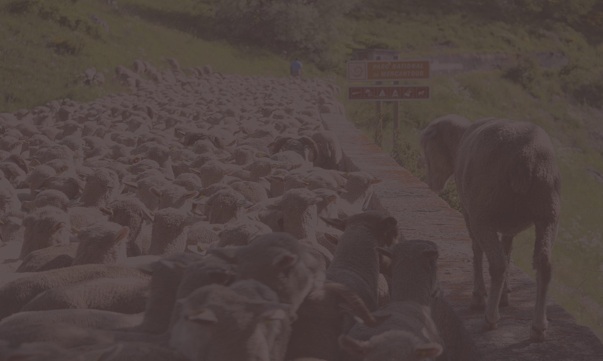 Schafherde in Frankreich auf Gebirgsstraße im Grünen kurz nach der Schur.