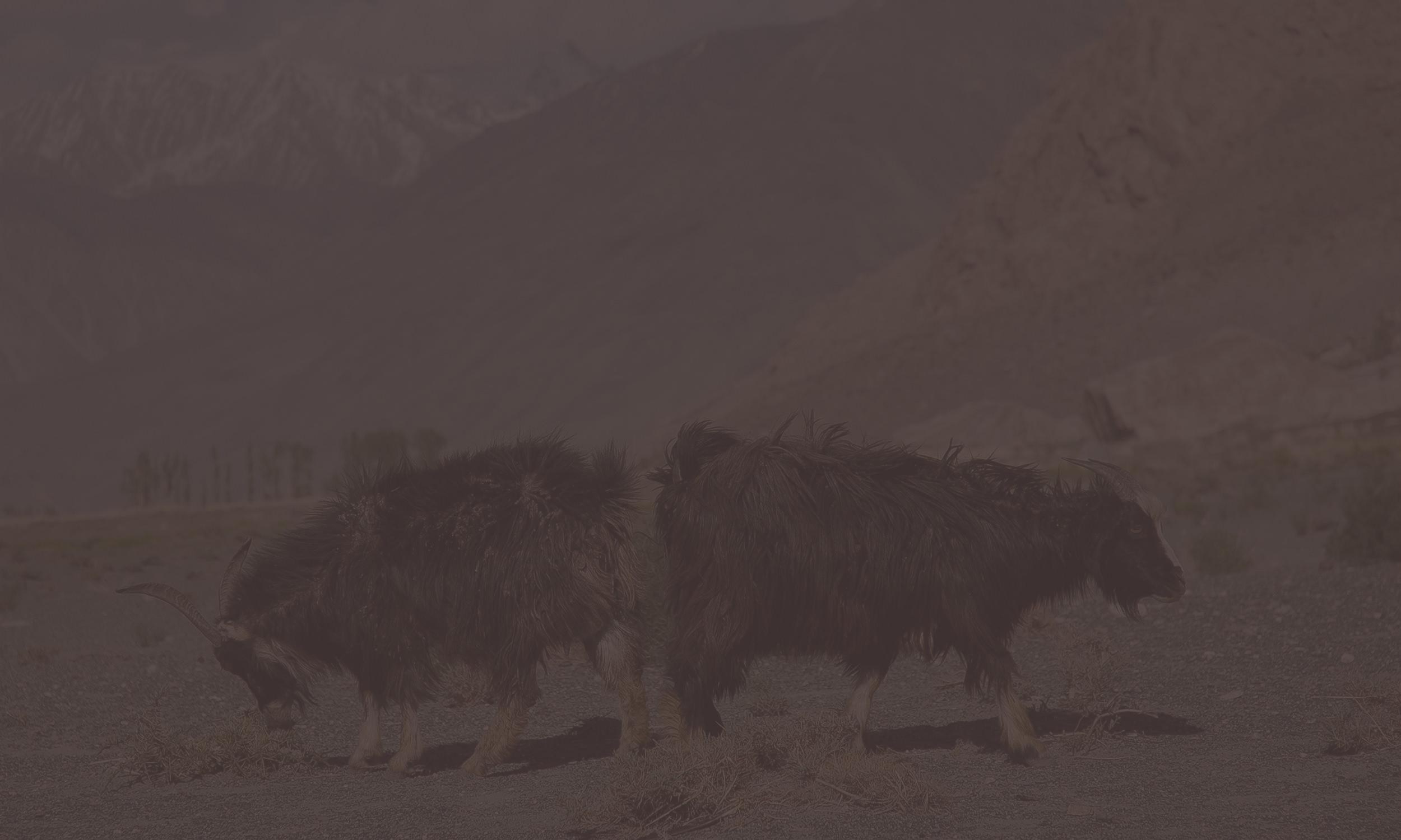 Kaschmirziegen in Afghanistan in Gebirgslandschaft.